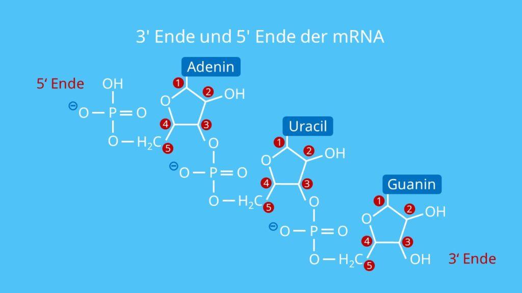 3' Ende und 5' Ende der mRNA, RNA, DNA, Richtungsangabe, Orientierung RNA, Einzelstrang, Phosphatgruppe, OH-Gruppe