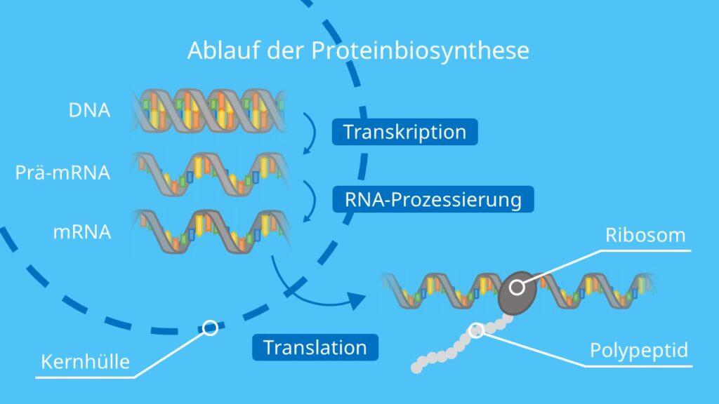 Ablauf der Proteinbiosynthese, Transkription, Translation, RNA-Prozessierung, mRNA, Ribosom, Proteinherstellung