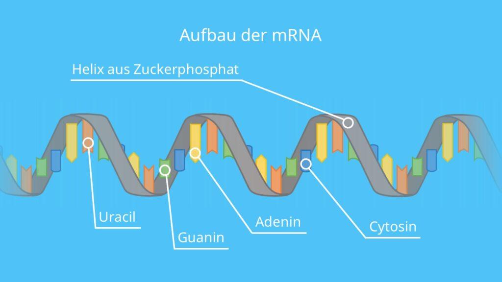 Aufbau der mRNA, Basen, Ribose, Phosphatrest, Einzelstrang