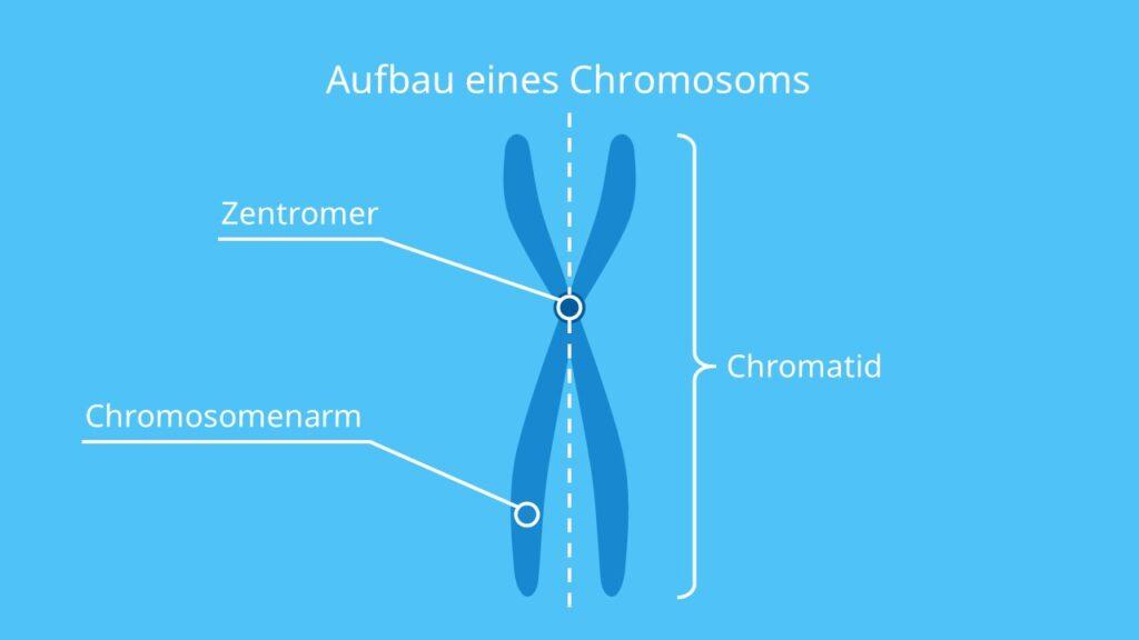Aufbau eines Chromosoms, Chromosom, Chromatid, Chromosomenarm, Zentromer