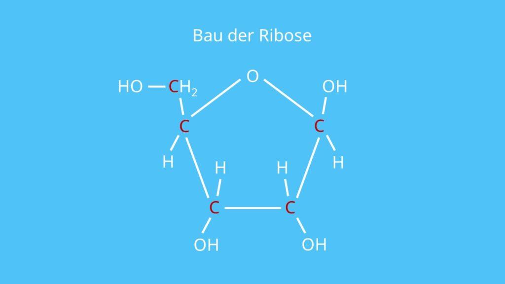 Bau der Ribose, Ribose, RNA, Zucker, Fünffachzucker