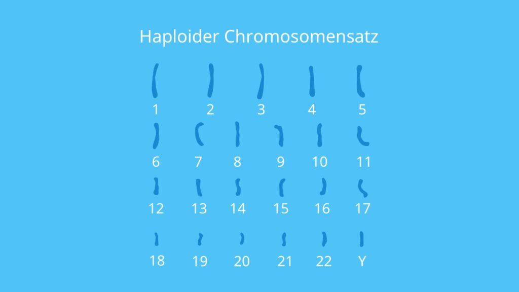 Haploider Chromosomensatz, Autosomen, Chromosomen, Chromosomensatz, Karyogramm Keimzellen, Geschlechtszellen, Meiose