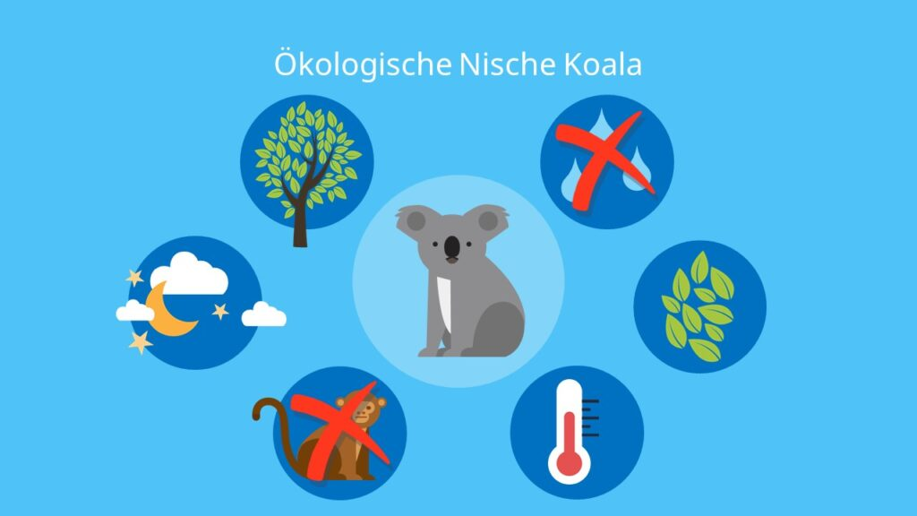 Ökologische Nische Koala, Beispiel, Ökologie, Biologie, Koala, Biotop, abiotische Faktoren, Biotische Faktoren, Umweltfaktoren
