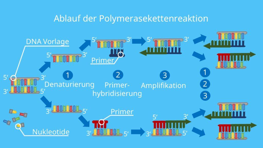 Ablauf PCR, PCR, Polymerase Kettenreaktion, DNA, Nukleotide, DNA Polymerase, Primer, Denaturierung, Elongation, PCR Methode