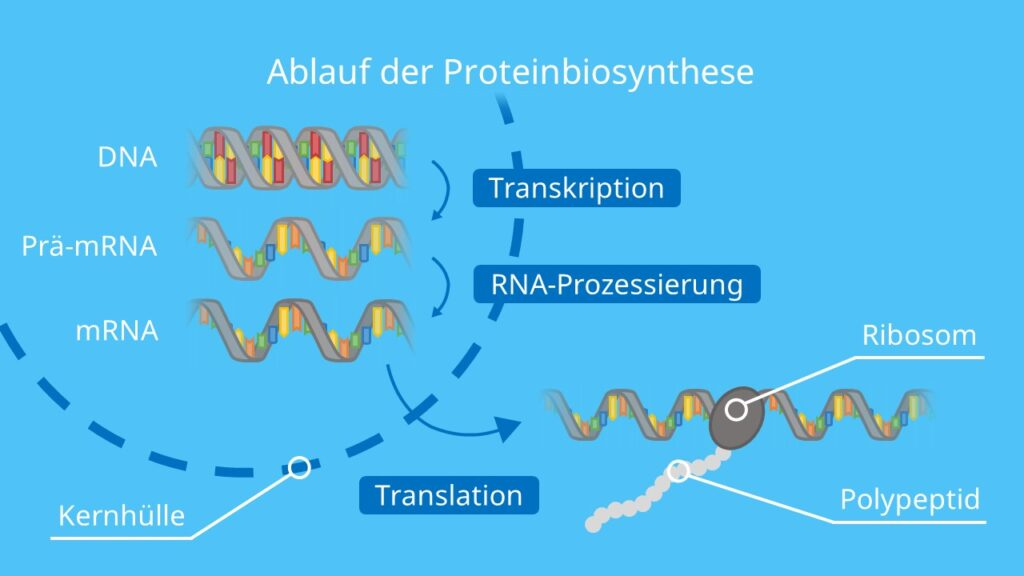 Ablauf der Proteinbiosynthese, RNA, mRNA, tRNA, Transkription, Translation