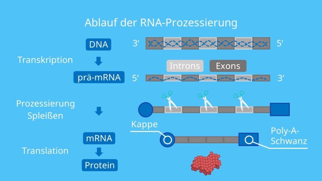 Ablauf der RNA-Prozessierung, Polyadenylierung, Editing, Splicing, Spleißen, Exons, Introns
