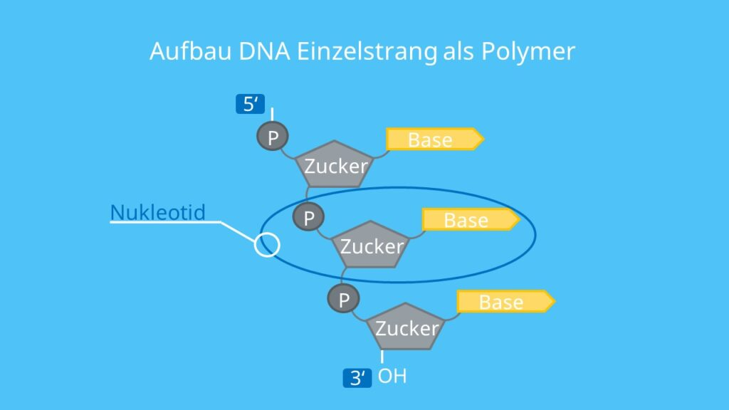 DNA, RNA, Polynukleotid, Nukleotid, Base, Ribose, desoxyribose, Phosphatgruppe, Phosphodiesterbindung, Nukleinsäuren, DNA Polymerase