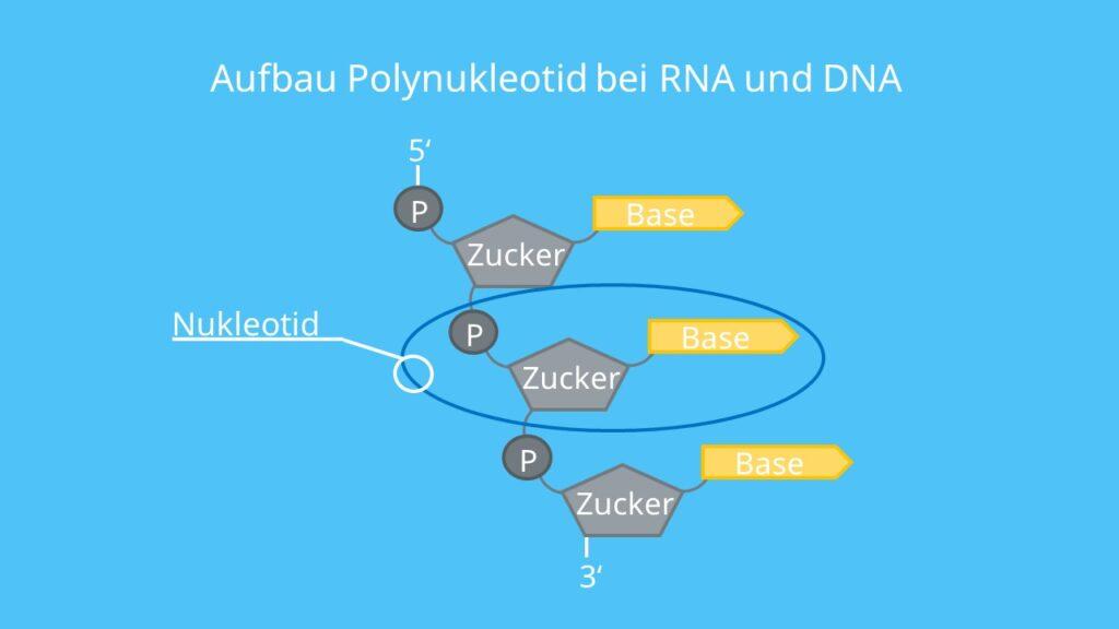 DNA, RNA, Polynukleotid, Nukleotid, Base, Ribose, desoxyribose, Phosphatgruppe, Phosphodiesterbindung, Nukleinsäuren