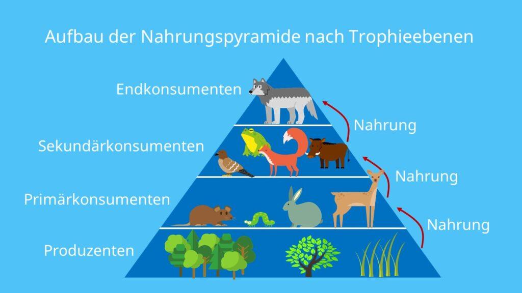 Produzenten,Konsumenten,Primärkonsumenten,Sekundärkonsumenten, Endkonsumenten, Spitzenprädatoren, Ökosystem, Trophiestufen