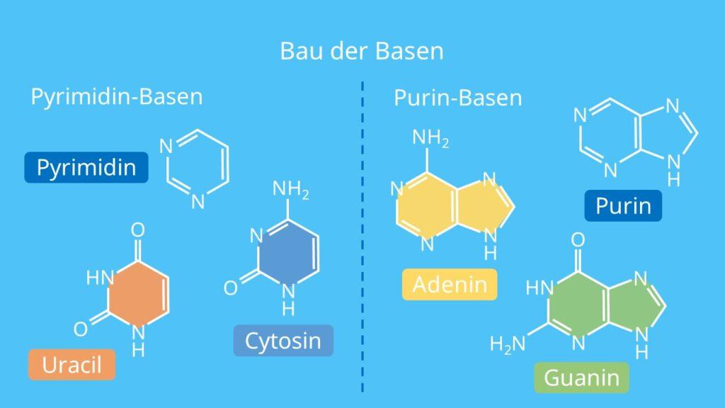 Bau der Basen, Purin, Pyrimidin, Adenin, Cytosin, Guanin, Uracil, Thymin, RNA, DNA