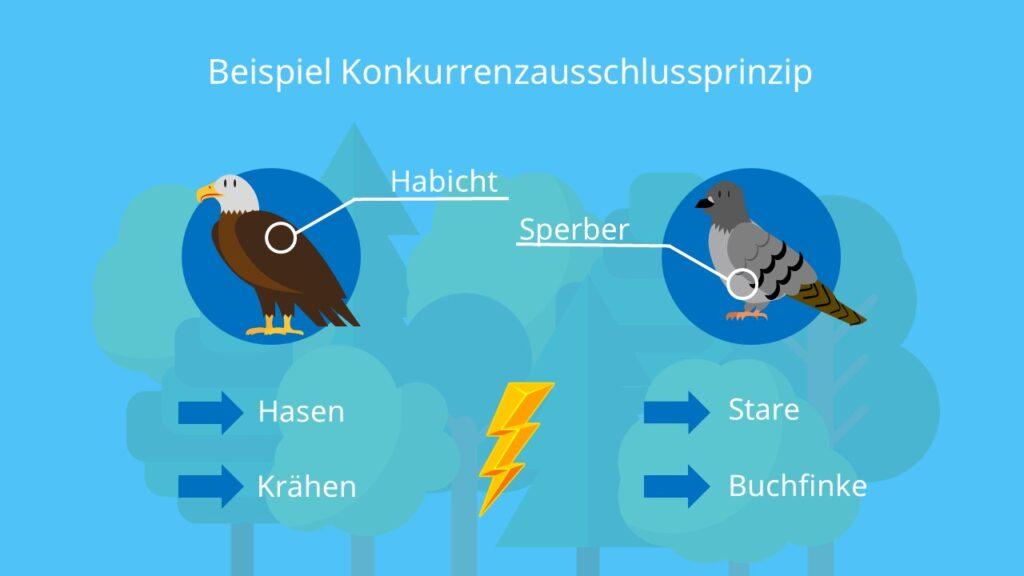 Habicht, Sperber, Wald, Ökosystem, Ökologische Nische, interpezifische Konkurrenz, Konkurrenzvermeidung