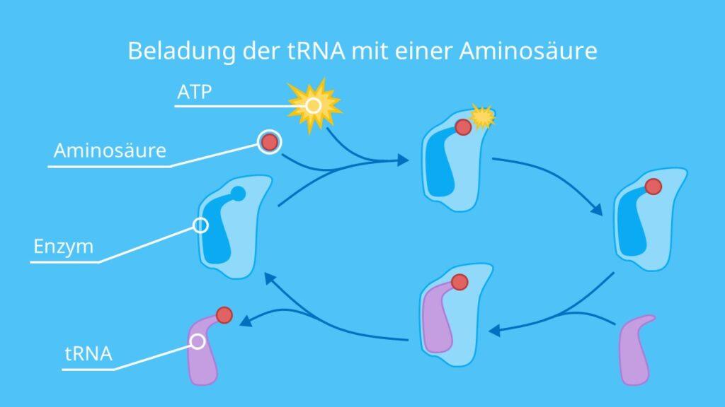 Beladung der tRNA mit einer Aminosäure, Aminosäure, Aminoacyl-tRNA-Synthetase, ATP