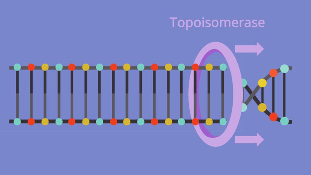 DNA Replikation, Doppelhelix, Topoisomerase
