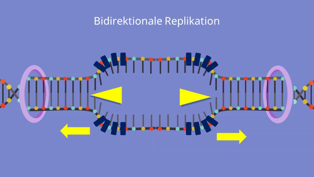 Replikationsgabel, bidirektionale Replikation, Origin, Replikationsursprung, Leitstrang, Mutterstrang, Tochterstrang