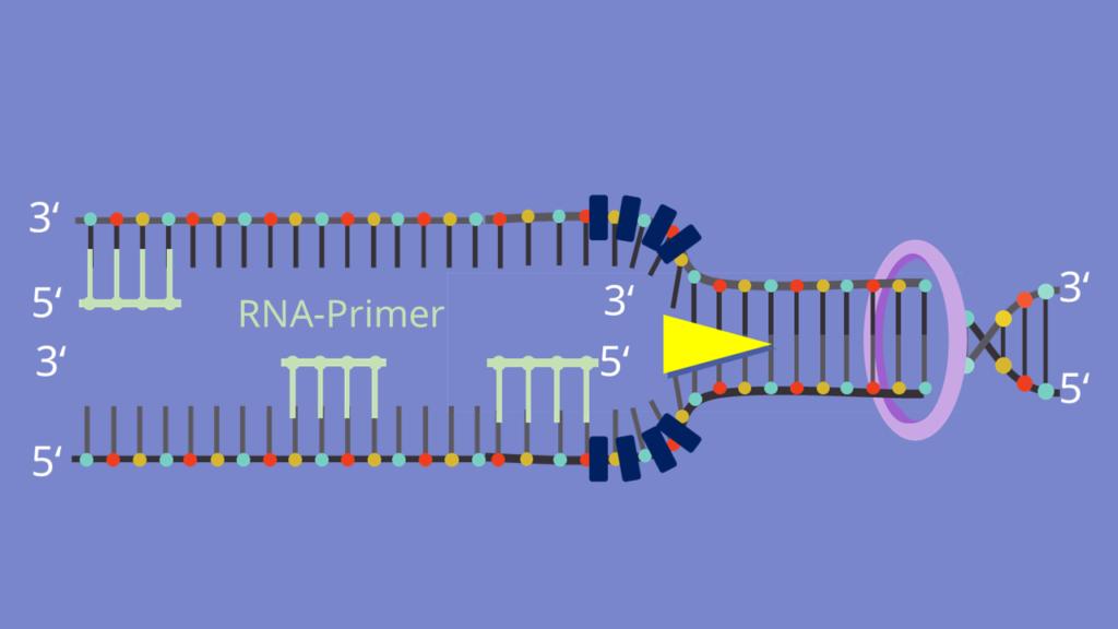 Primase, DNA replikation, Primase, Nukleotide