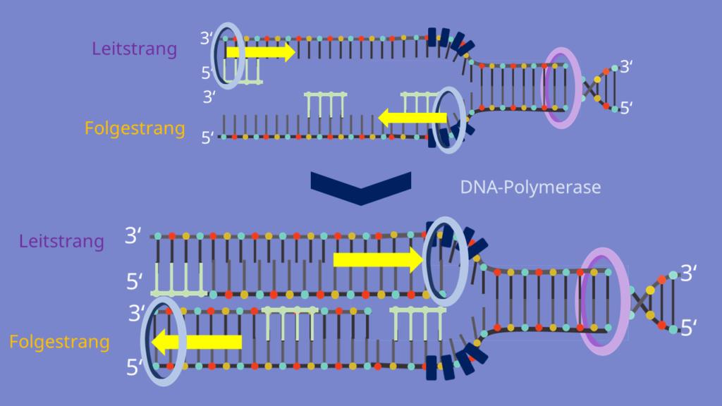 Polymerase, Leitrang, Folgestrang, Okazaki Fragment, diskontinuierlich, kontinuierlich, DNA Replikation, DNA Synthese