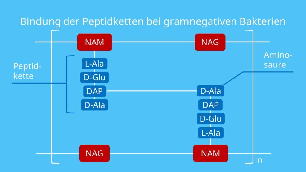 Bindung der Peptidketten bei gramnegativen Bakterien, Murein, Peptidoglycan, gramnegativ, Gramfärbung, Bakterium, Gramnegatives Bakterium