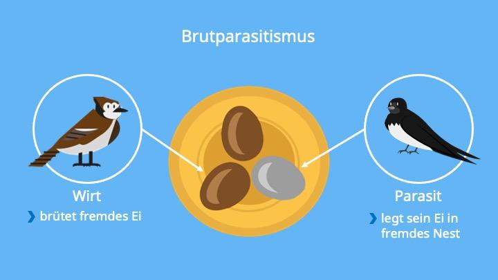 Kuckuck; Parasitismus, Parasit, Wirt, Biologie, Schmarotzertum, Schmarotzer