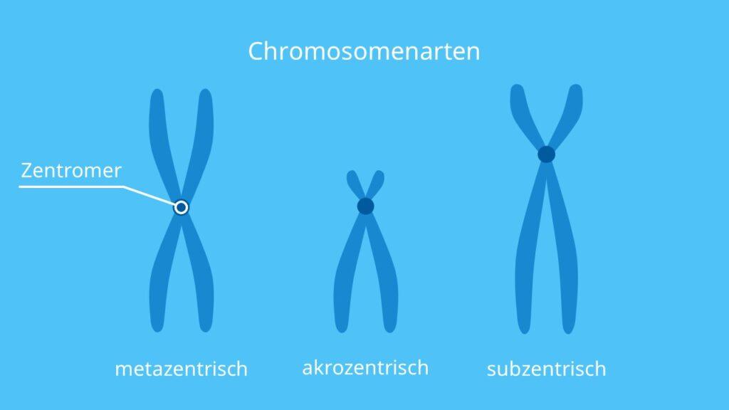 Chromosomenarten, Metazentrisch, subzentrisch, akrozentrisch, Chromosom, Lage Zentromer, Chromosomenarm