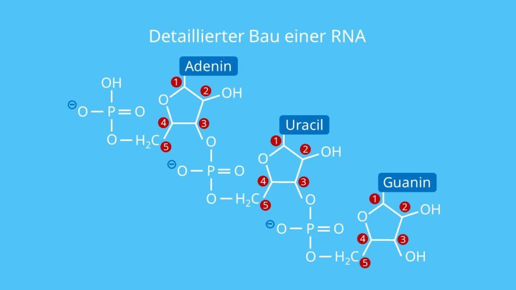 Detaillierter Bau einer RNA, Ribose, Phosphatrest, Base, Uracil, RNA