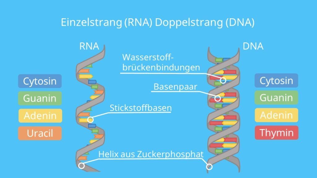 DNA, RNA, Einzelstrang, Doppelstrang, Thymin, Uracil, Desoxyribose, Ribose, Nukleinsäure
