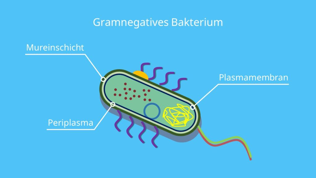 Gramnegatives Bakterium, Murein, Peptidoglycan, gramnegativ, Gramfärbung, Bakterium