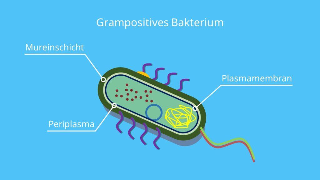 Murein, Peptidoglycan, grampositiv, Gramfärbung, Bakterium, Grampositives Bakterium
