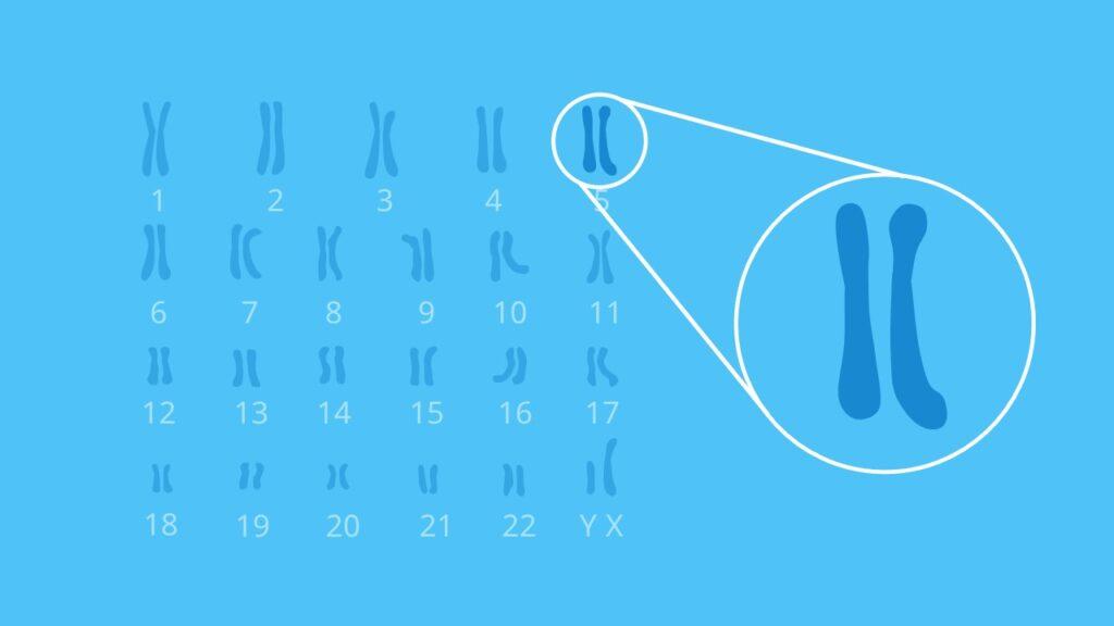 Chromosomen, Zentromer, Chromosomenarm, Chromatid, DNA, Gonosomen, heterogene Chromosomen, homologe Chromosomen