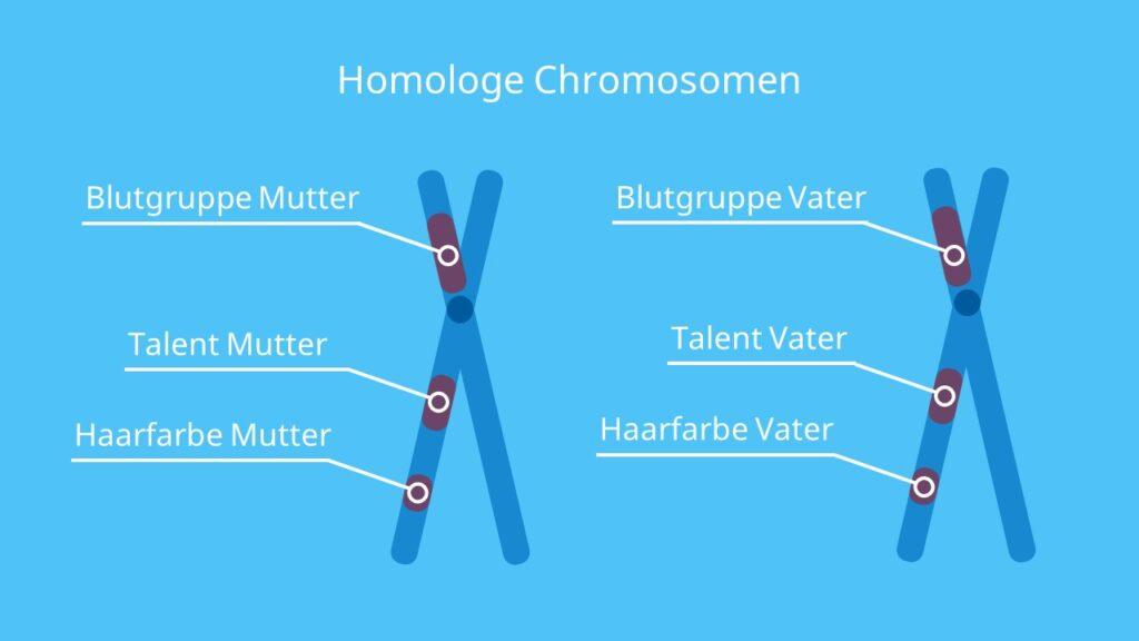 Homologe Chromosomen, Chromosomen, Schwesterchromosomen, Chromosomenpaar