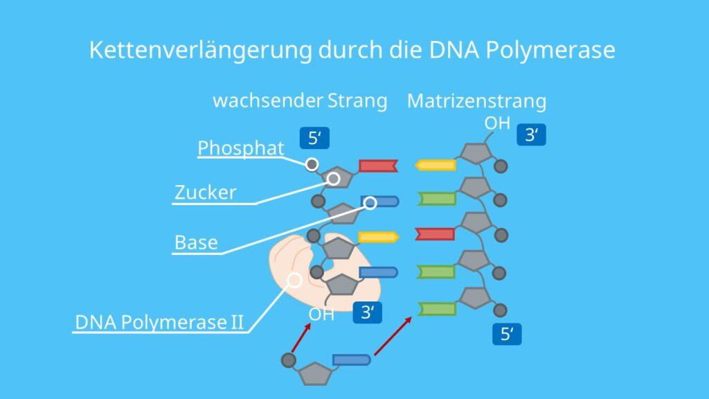 DNA Polymerase, DNA, Polymerisation, Nukleotide, DNA Basen, DNA Replikation