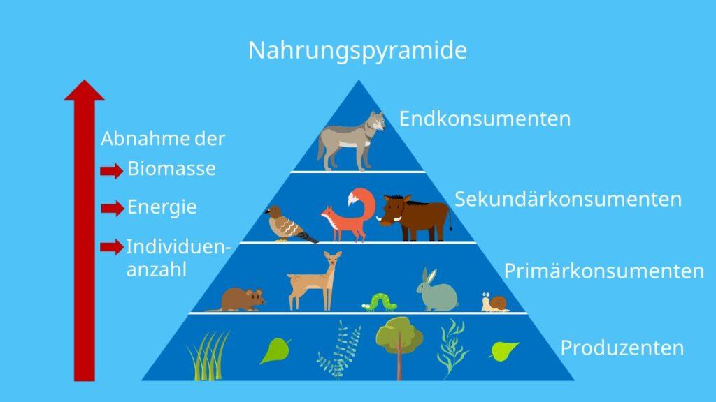 Trophieebenen, Produzenten, Konsumente, Destruenten, Nahrung, Fressfeinde, Beute, Jäger, Räuber, Beispiel