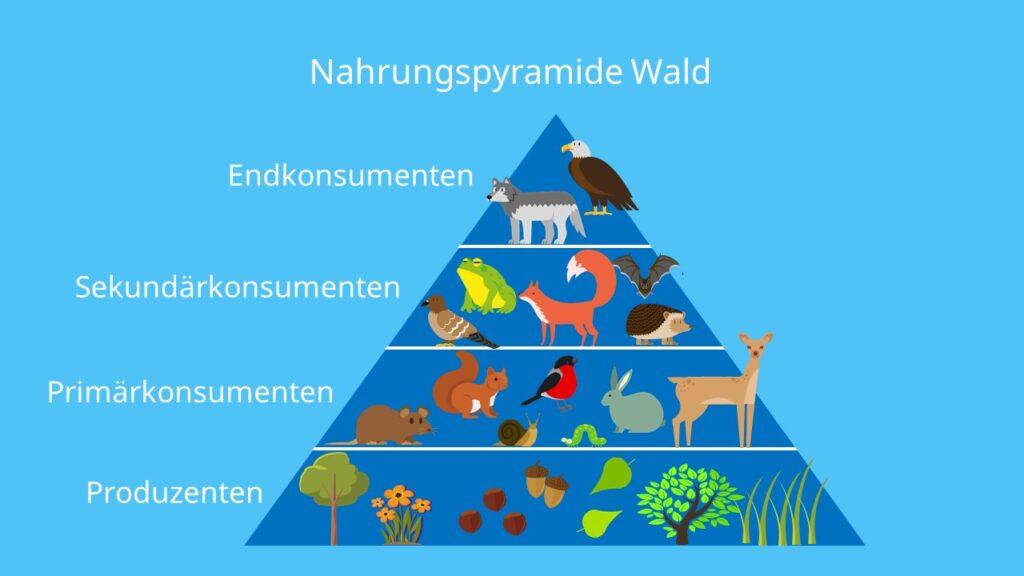 Produzenten,Konsumenten,Primärkonsumenten,Sekundärkonsumenten, Endkonsumenten, Spitzenprädatoren, Ökosystem Wald,Nahrungsbeziehungen, Beispiel
