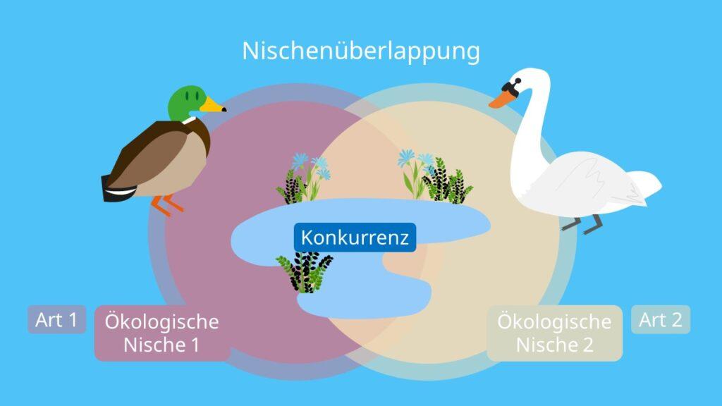 Nischenüberlappung, Ökologische Nische, Konkurrenz, Konkurrenzausschlussprinzip, Konkurrenzvermeidung, Arten, Ökologie, Biologie