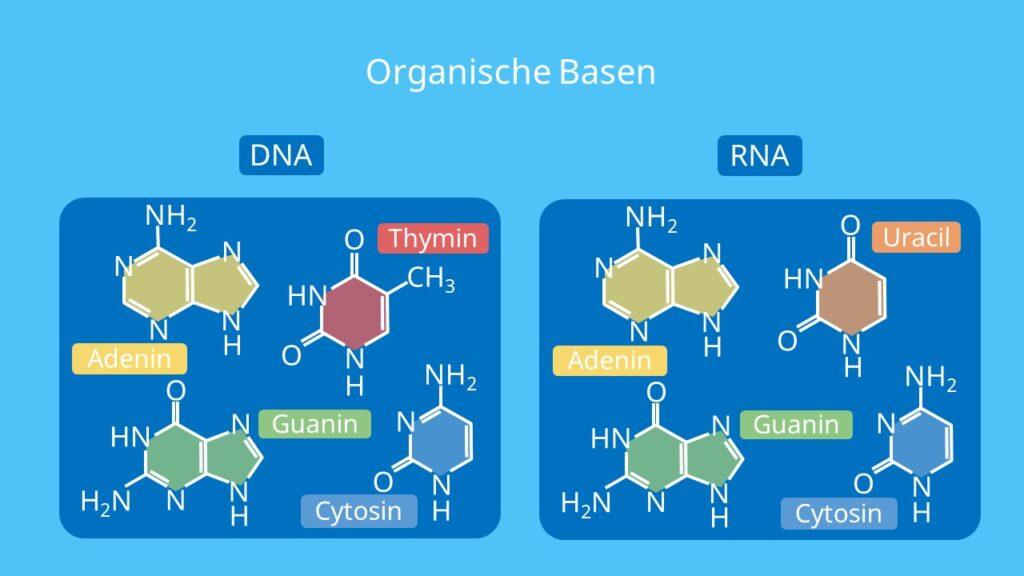 DNA, RNA, Nukleotid, Adenin, Thymin, Guanin, Cytosin, Uracil, Purine, Pyrimidine