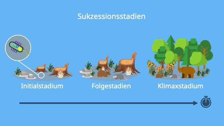 Sukzession, Initialstadium, Folgestadien, Klimaxstadium, Ökologie, Biologie