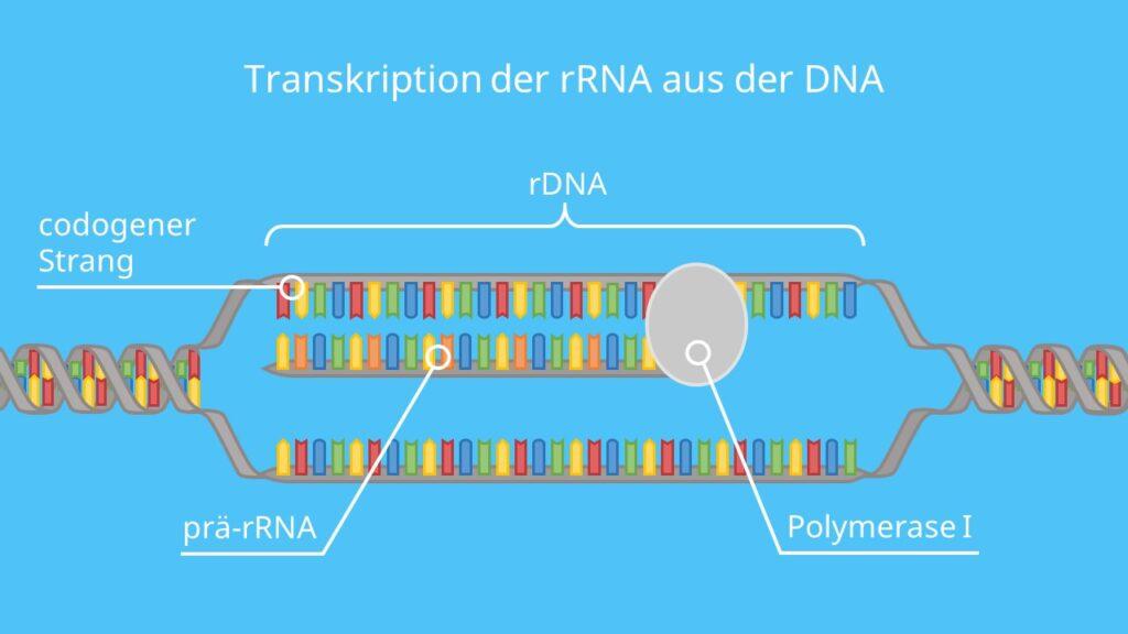 Transkription der rRNA aus der DNA, Ribsomen, rRNA, Proteinbiosynthese, Translation, Transkription, Eukaryoten, Prokaryoten, DNA