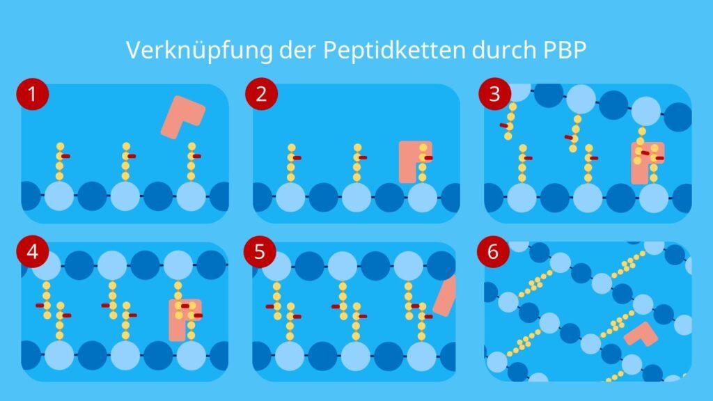 Verknüpfung der Peptidketten durch PBP, Murein, Peptidoglycan, Murein Aufbau, Mureinsacculus, N-Acetylmuraminsäure, N-Acetylglucosamin, glykosidische Bindung, PBP, Mureinschicht