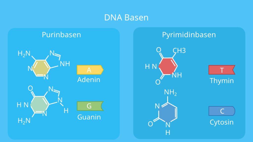 Adenin, Thymin, Cytosin, Guanin, Purinbase, DNA, Pyrimidinbase