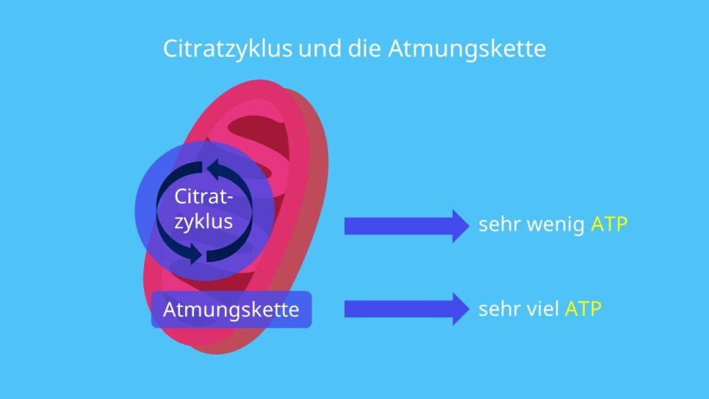 ATP, Glykolyse, Citratzyklus, Atmungskette, oxidative Phosphorylierung, Mitochondrien, Membran, Matrix