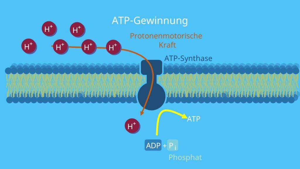 ATP, Protonengradient, chemiosmotische Hypothese, Atmungskette, Photosynthese, Mitochondrien, Membran