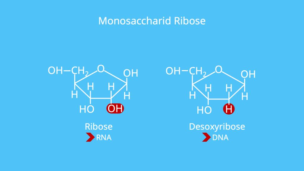Monosaccharid, Monosaccharide, Beispiel, Beispiele, Ribose, Desoxyribose
