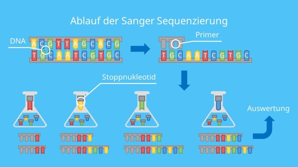 Ablauf der Sanger Sequenzierung, DNA, Nukleotid, DNA Basen, Adenin, Thymin, Cytosin und Guanin, DNA Sequenzierung, Sanger Sequenzierung, Primer, Didesoxynukleotide