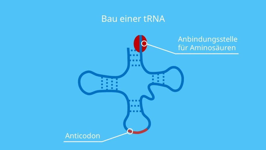 Bau einer tRNA, RNA, Aminosäure, D-Schleife, TΨC-Schleife, Anticodon-Schleife, Proteinbiosynthese, Translation