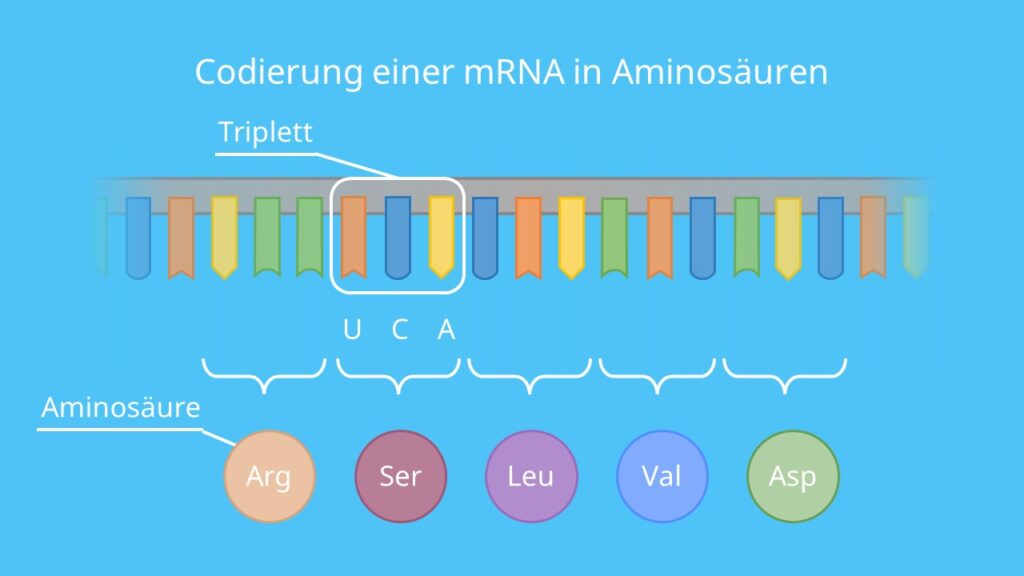Codierung einer mRNA in Aminosäuren, Base, Codon, Aminosäure, Translation, Triplett, Nukleotid, mRNA, DNA, Protein