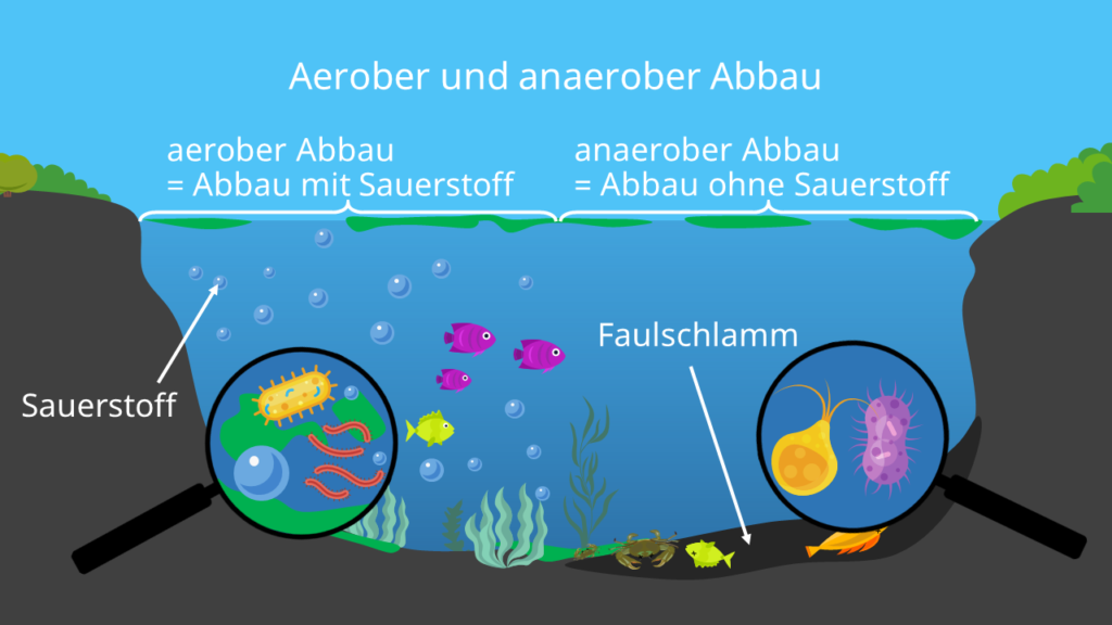 Aerober abbau, anaerober abbau, eutrophierung, Phytoplankton, Faulschlamm, Eutrophierung See