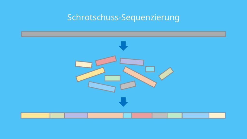 Schrotschuss-Sequenzierung, DNA Sequenzierung, DNA, shotgun Sequenzierung, DNA Fragmente, Eukaryoten, Humangenomprojekt