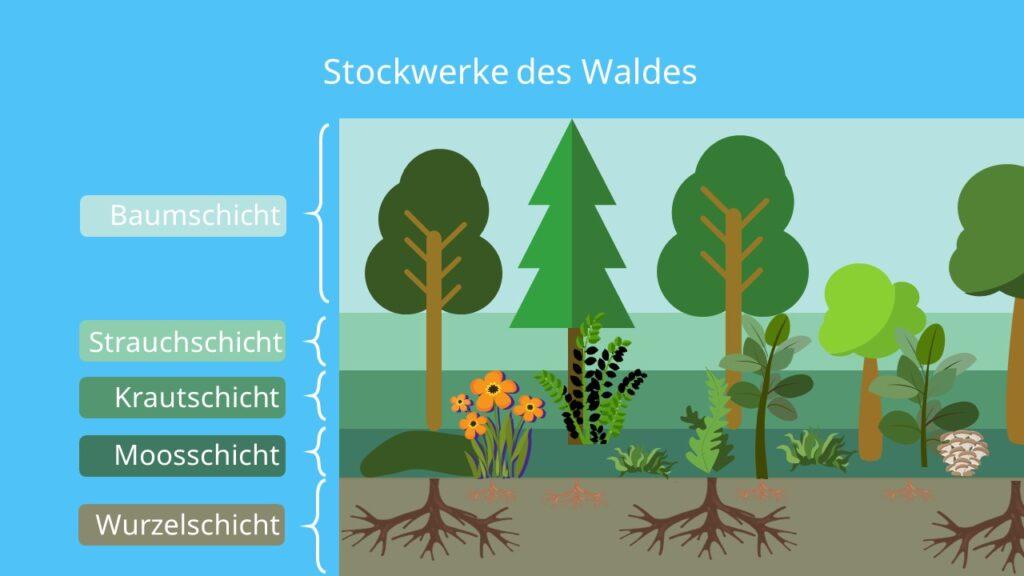 Bäume, Ökosystem Wald, Biozönose, Tiere, Lebewesen, Biotop, Beispiel, Wurzelschicht, Moosschicht, Krautschicht, Strauchschicht, Baumschicht