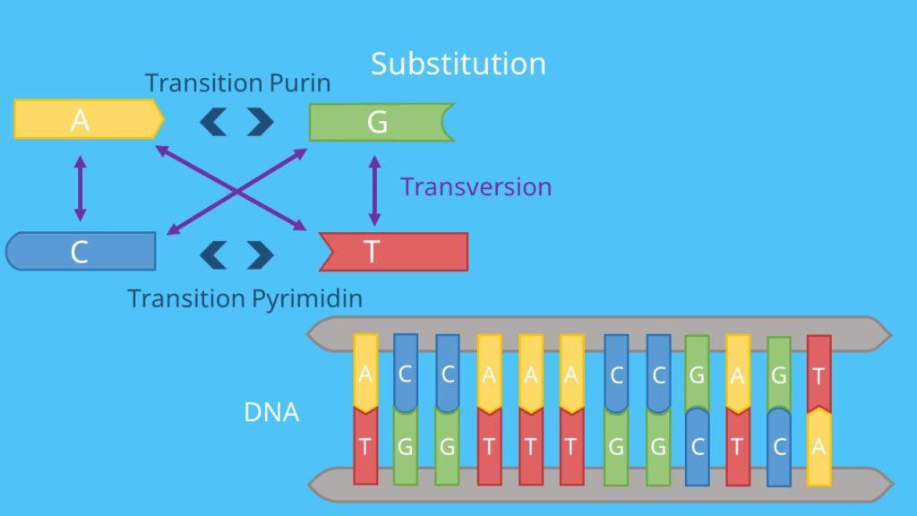 Genmutation, Mutation, DNA, mRNA, Substitution, Transition, Transversion, Punktmutation