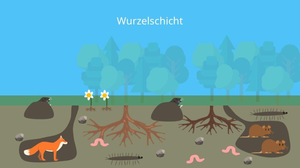 Keller des Waldes, Stockwerke des Waldes, Schichten des Waldes, Waldschichten, Ökosystem Wald, Pflanzen des Waldes, Tiere Wald