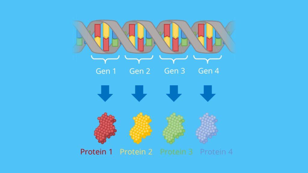 Genotyp, Phänotyp, Gen, Protein, Allel, DNA, Chromosom, Eukaryoten, Prokaryoten, Mendelsche Regel, Uniformitätsregel